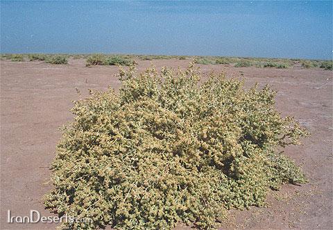 نام فارسی گیاه ماریانا چیست ت گیاه ماریانا چیست کجا میروید عکس تلگرام