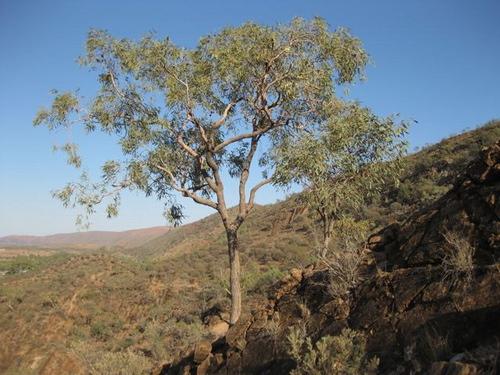 Коримбия corymbia eremaea выклинивается на