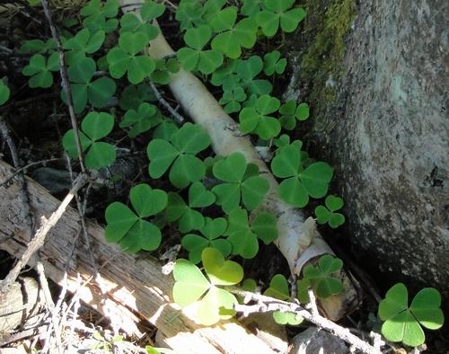 в каких лесах растет колокольчик