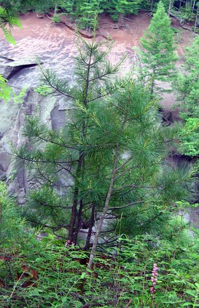Корейский кедр: Растения плато и вулкана Чанбайшань