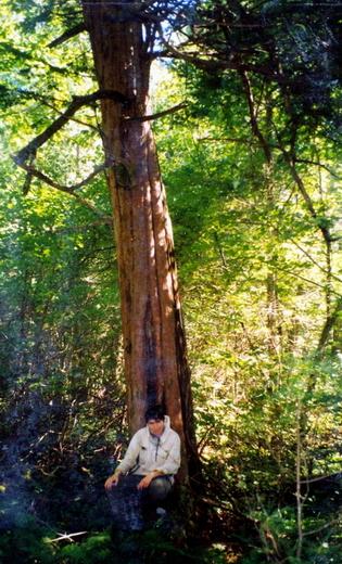 Корейский кедр: Сихотэ-Алинская ботанико-географическая подобласть