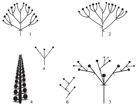 Типы соцветий дальневосточных