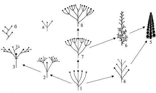 Возможная схема преобразований соцветий восточно-азиатских Sedoideae.  1. Простой монохазий; 2. Сложный дихазий; 3...