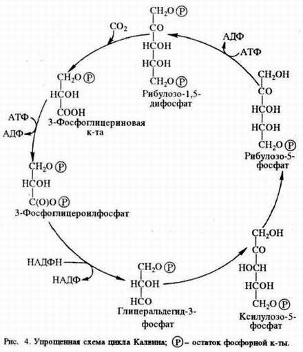 Схема темновой фазы