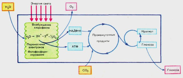 Еще одна схема фотосинтеза,